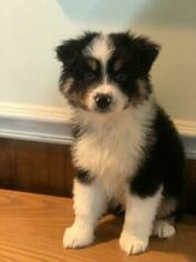 Australian Shepherd Puppy For Sale in FRUIT COVE, FL, USA