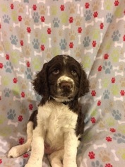 English Springer Spaniel Puppy For Sale in SPRINGFIELD, OH, USA