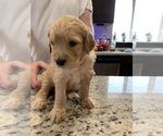 Small #52 Goldendoodle