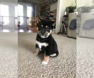 Shiba Inu Puppy for sale in VAB, VA, USA
