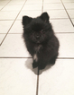 Pomeranian Puppy For Sale in BROCKTON, MA