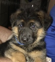 German Shepherd Dog Puppy For Sale in TAMPA, FL, USA