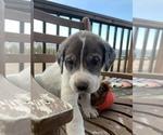 Puppy 9 Great Pyredane