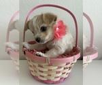 Puppy 3 Pomeranian-Yo-Chon Mix