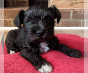 Schnauzer (Miniature) Puppy for Sale in LYNCHBURG, Virginia USA