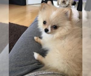 Pomeranian Puppy For Sale in DAVIE, FL, USA