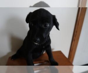 Australian Cattle Dog Puppy for sale in CINCINNATI, OH, USA