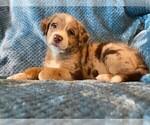 Puppy 2 Sheprador