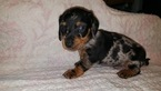 Dachshund Puppy For Sale in LA SALLE, CO,
