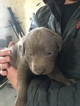 AKC Registered Silver Lab Puppies