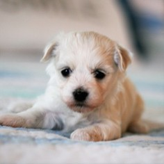 Havanese Puppy For Sale in GROVER BEACH, CA