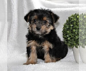 Yorkshire Terrier Puppy for sale in KINZERS, PA, USA