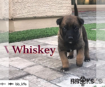 Small #9 Belgian Malinois