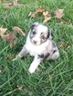 Miniature Australian Shepherd Puppy For Sale in TRENTON, GA