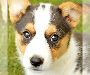 Pembroke Welsh Corgi Puppy for sale in CHAMBERSBURG, PA, USA