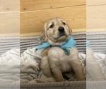 Puppy 9 Golden Retriever