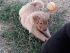 English Shepherd Puppy For Sale in MOLALLA, OR, USA