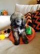 Maltipoo Puppy For Sale in GLENDALE, AZ