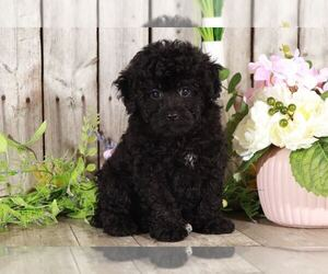 Poodle (Miniature) Puppy for sale in MOUNT VERNON, OH, USA