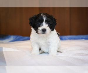 Zuchon Puppy for Sale in ACTON, California USA