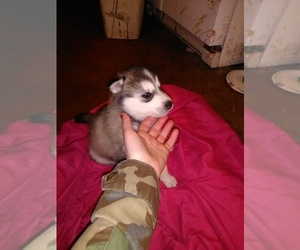 Alaskan Malamute-Wolf Hybrid Mix Puppy for sale in LA PORTE, MN, USA