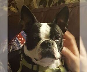 Medium Boston Terrier