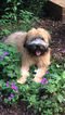 Small #13 Soft Coated Wheaten Terrier