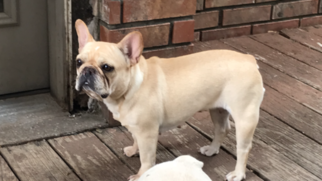 French Bulldog Dog For Adoption in TULSA, OK, USA