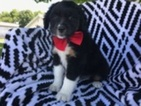 Australian Shepherd Puppy For Sale in QUARRYVILLE, PA, USA