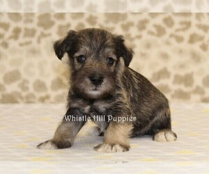 Schnauzer (Miniature) Puppy for Sale in DENVER, Pennsylvania USA