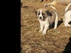 Puppy 4 Anatolian Shepherd