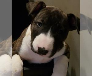 Bull Terrier Puppy for sale in LEXINGTON, TN, USA