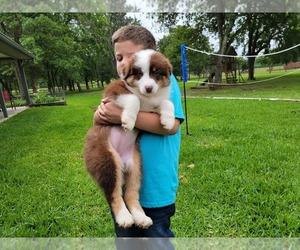 Australian Shepherd Puppy for sale in CLARKSVILLE, TX, USA