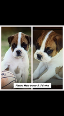 Boxer Puppy for sale in OKLAHOMA CITY, OK, USA