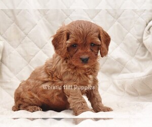 Cavapoo Puppy for sale in DENVER, PA, USA