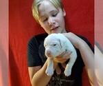 Small #21 Dogo Argentino