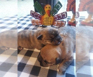 French Bulldog-Poodle (Toy) Mix Puppy for sale in NEW WAVERLY, TX, USA