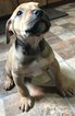 American Pit Bull Terrier-Bullypit Mix Puppy For Sale in OKLAHOMA CITY, OK, USA
