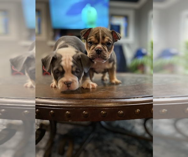 Medium Photo #6 American Bully Puppy For Sale in CORLISS, PA, USA