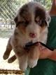 Australian Shepherd Puppy For Sale in CLARKSVILLE, TX,