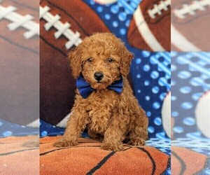 Poodle (Toy) Puppy for sale in PEACH BOTTOM, PA, USA