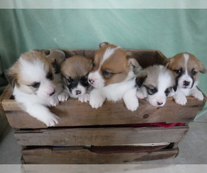 Pembroke Welsh Corgi Puppy for Sale in REDDING, California USA