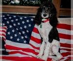 Poodle (Standard) Puppy For Sale in BELLA VISTA, AR, USA
