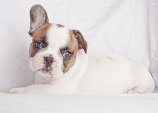 French Bulldog Puppy for sale in SEATTLE, WA, USA