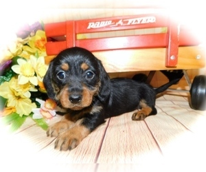 Dachshund Puppy for Sale in HAMMOND, Indiana USA