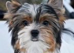Biewer Terrier Puppy For Sale in MARYSVILLE, WA, USA