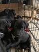 AKC Purebread Black Puppies