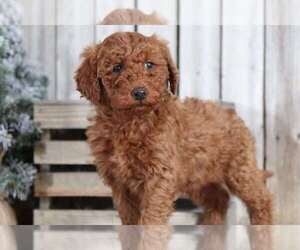 Goldendoodle Dog for Adoption in MOUNT VERNON, Ohio USA