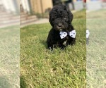 Image preview for Ad Listing. Nickname: Standard poodle