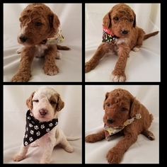 Goldendoodle Puppy For Sale in HOLMEN, WI, USA